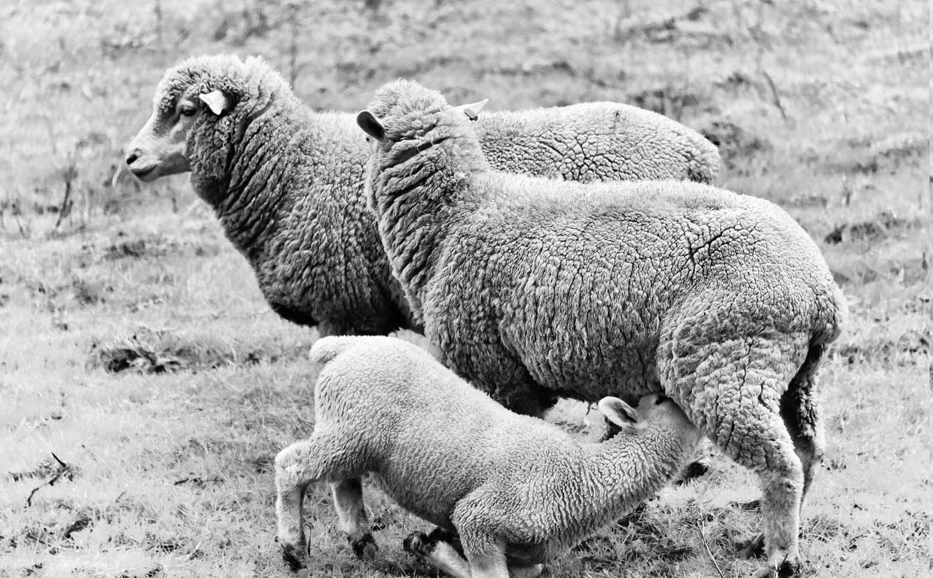 Hermanuspietersfontein_Sheep_Skaap_Stories